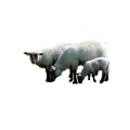moutons-tubes-1.png